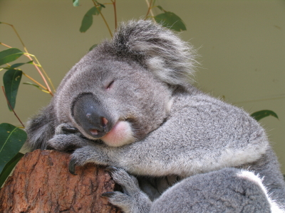 Image of Sound Asleep Koala